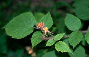 Rubus phoenicolasius (Wineberry, Wine Raspberry, Japanese Wineberry)