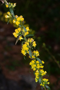 Solidago caesia (wreath goldenrod, blue-stemmed goldenrod, early goldenrod)