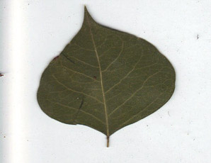 Triadica sebifera (Chinese Tallow)