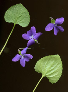 Viola sororia (Common Blue Violet, Woolly Blue Violet, Common Wood Violet, Broad-leaved Wood Violet)