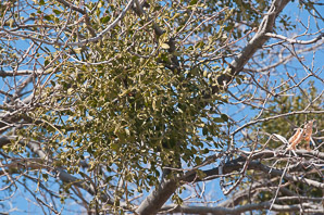 Viscum album (European Mistletoe)