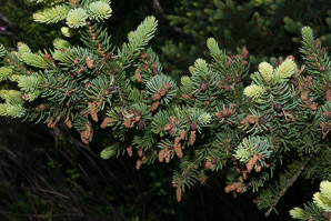 Abies balsamea (Balsam Fir)