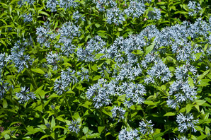 Amsonia tabernaemontana (Dwarf Bluestar, Common Bluestar)