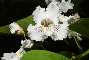 Catalpa speciosa (Northern Catalpa, Hardy Catalpa, Western Catalpa, Cigar Tree, Catawba-tree)