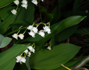 Convallaria majalis (Lily of the Valley, European Lily Of The Valley)