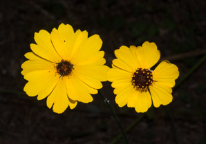 Coreopsis leavenworthii (Leavenworth's Tickseed)