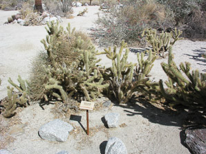 Cylindropuntia wolfii (Wolf's Cholla, Wolf's Opuntia)