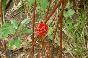 Etlingera elatior (Red Torch Ginger)