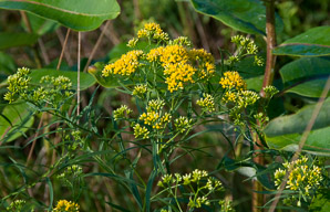 Euthamia graminifolia (Flat-top Goldentop, Lance-leaved Goldenrod, Grass-leaved Goldenrod, Flat-topped Goldentop)