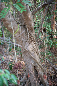 Ficus citrifolia (Shortleaf Fig)