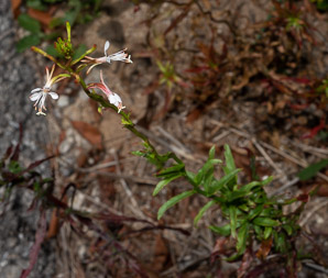 Gaura angustifolia (Southern Beeblossom, Southern Gaura, Southern Butterly Weed, Morning Honeysuckle)