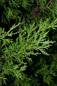 Juniperus virginiana (Eastern Redcedar, Red Cedar, Eastern Juniper, Red Juniper, Pencil Cedar, Eastern Red Cedar)