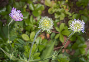 Knautia arvensis (Field Scabious, Blue Buttons)