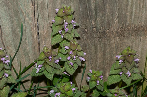 Lamium purpureum (Purple Dead-nettle, Red Dead-nettle)