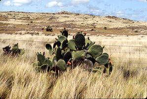 Opuntia phaeacantha (Desert Prickly Pear, Tulip Prickly Pear, Brown-spine Prickly Pear, Tulip Pricklypear)