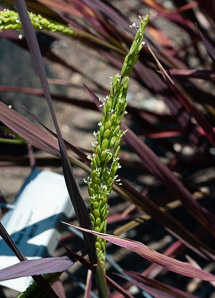 Oryza sativa (Rice)