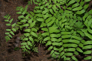 Osmunda regalis (Royal Fern)