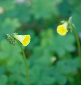 Oxalis albicans (hairy woodsorrel, radishroot woodsorrel)