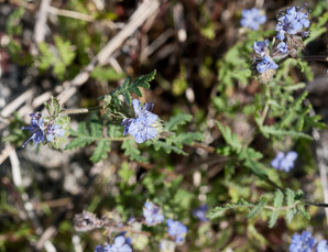 Phacelia ciliata (Great Valley Phacelia)