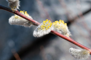 Salix discolor (Pussy Willow, American Willow)