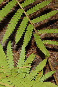 Thelypteris palustris (Marsh Fern)