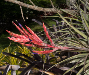 Tillandsia fasciculata (Giant Airplant, Cardinal Airplant)
