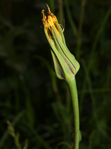 Tragopogon lamottei (Meadow Salsify, Jack-go-to-bed-at-noon, Showy Goat's-beard, Meadow Goat's-beard)