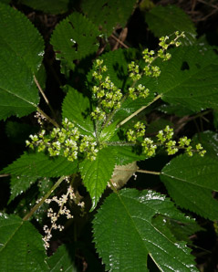 Urtica dioica (Stinging Nettle, Common Nettle)