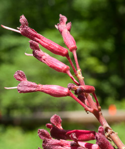 Aesculus pavia (Red Buckeye)