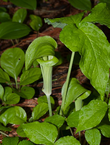 Arisaema triphyllum (Jack-in-the-pulpit, Bog Onion, Brown Dragon, Indian Turnip, Wake Robin, Wild Turnip, Jack-in-the-pulput)