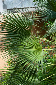 Chamaerops humilis (Mediterranean fan palm, European fan palm)