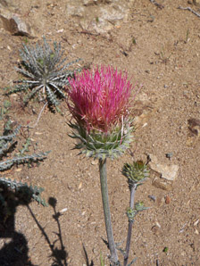 Cirsium occidentale (Coulter Thistle)