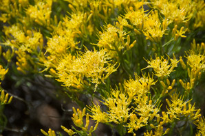 Ericameria nauseosa (Rubber Rabbitbrush, Common Rabbitbrush)