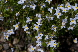 Houstonia caerulea (Bluets, Quaker Ladies, Azure Bluet)