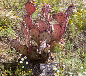 Opuntia macrocentra (Long-spined Prickly Pear, Black Spine Prickly Pear, Purple Pricklypear)