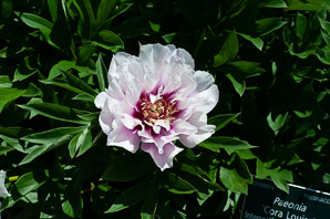 Paeonia 'Cora (Intersectional [Itoh] Peony)