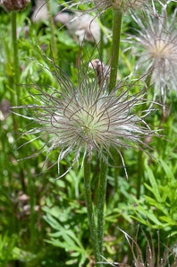 Pulsatilla vulgaris (Pasque Flower)