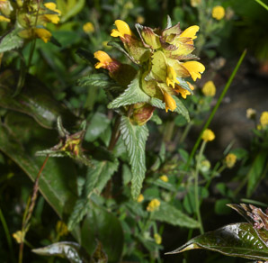Rhinanthus minor (yellow rattle)