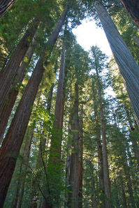 Sequoia sempervirens (Coast Redwood, Giant Sequoia, Giant Redwood, California Redwood)