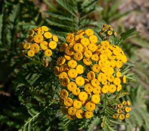 Tanacetum vulgare (Common Tansy, Golden Buttons, Curly Leaf Tansy, Tansy, Bitter Buttons)