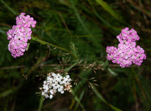 Achillea millefolium (Common Yarrow, Gordaldo, Nosebleed Plant, Old Man's Pepper, Devil's Nettle, Sanguinary, Milfoil, Soldier's Woundwort, Thousand-leaf, Thousand-seal, Yarrow)