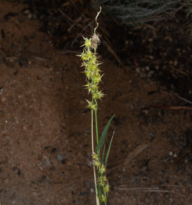 Carex echinata (Star Sedge)