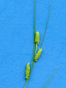 Carex pellita (Woolly Sedge)