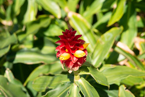 Costus barbatus (red velvet ginger, spiral ginger)