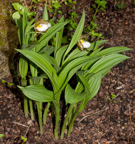 Cypripedium candidum (White Lady's Slipper)