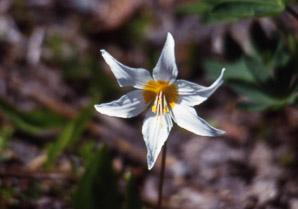 Erythronium montanum (Avalanche Lily, White Avalanche Lily)