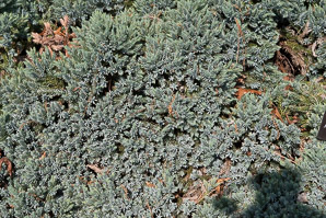Juniperus squamata (Blue Star Juniper)