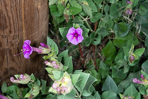Mirabilis multiflora (Colorado Four O'clock, Showy Four O'clock)