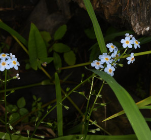 Myosotis laxa (Smaller Forget-me-not)