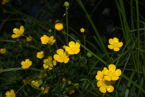 Ranunculus acris (Buttercup, Tall Buttercup, Meadow Buttercup, Common Buttercup)